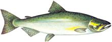 Saumon Chinook Lac Ontario